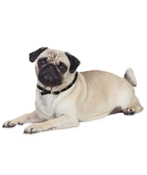 pug puppies & dogs for adoption