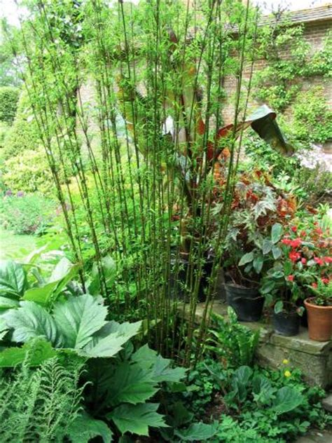 Gardenia Growing Conditions How To Grow Bamboo Growing Conditions Planting Maintenance