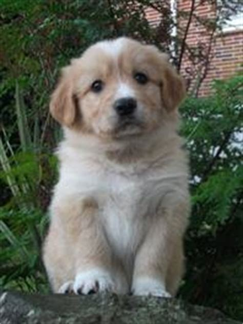golden retriever x border collie 19 best images about puppy dogs on puppys image search and pets