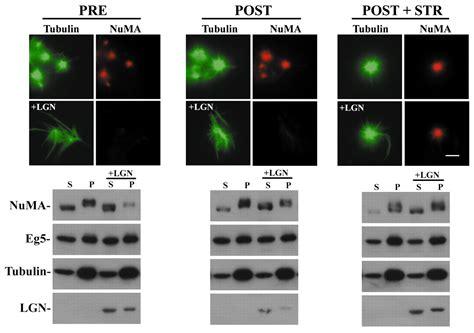 New Oversize Top Green Lonely Figure Desain Sederhana Cantik 31361 Ai mechanisms regulate numa dynamics at spindle poles journal of cell science