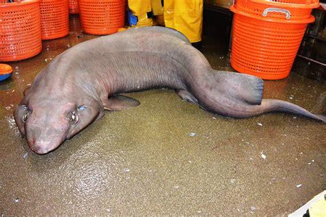 Narrow Sofas Uk Weird Blobfish Looking Sofa Shark Discovered In Scottish