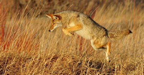 facts about coyotes for kids coyote facts for kids adults information pictures video