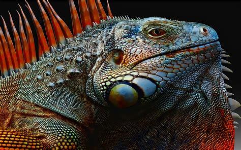 imagenes de iguanas rojas iguana wallpapers wallpaper cave