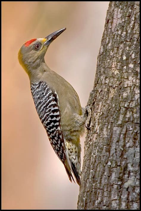 186 best the woodpecker family images on pinterest