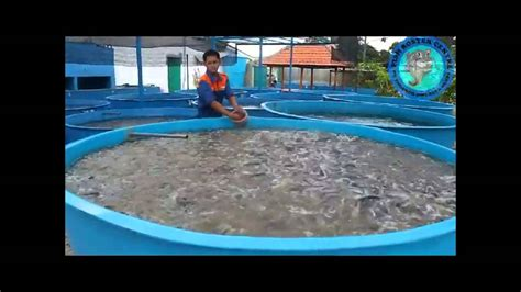 Harga Boster Progol fish boster centre lele padat tebar sistem boster