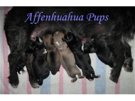 affenpinscher puppies for sale affenpinscher puppies in washington dc
