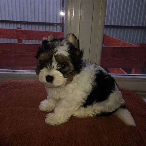 biewer terrier puppies biewer terrier puppies for sale wellingborough northtonshire pets4homes