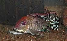 cichlid news what's new