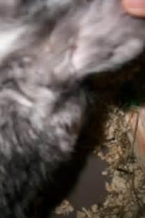 mon lapin se gratte l oreille pourquoi question lapin