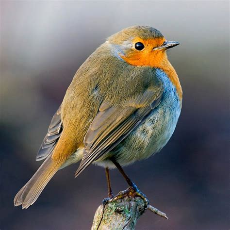 Robins O O european robin animal pictures gallery