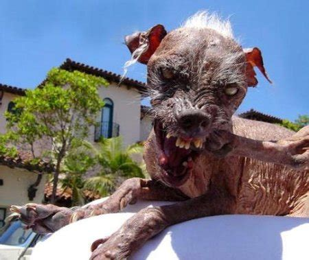 Shoo Anjing 10 of the world s ugliest dogs