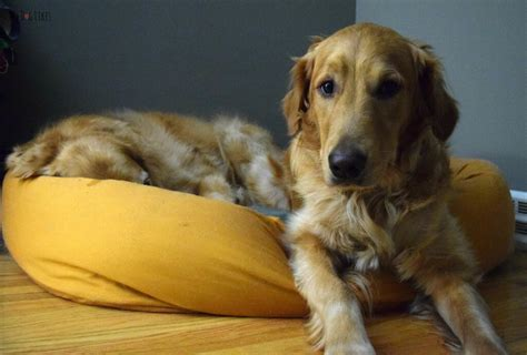 west paw dog bed west paw design heyday dog bed review reclaiming the sofa