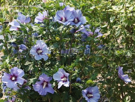 althea plant plantfiles pictures of shrub althea blue satin hibiscus syriacus by daylily970
