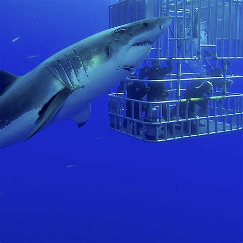 cage dive with sharks great white shark diving holidays dive worldwide