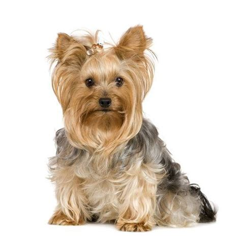 first yorkie hair cuts yorkie haircuts dogs pinterest he left me german