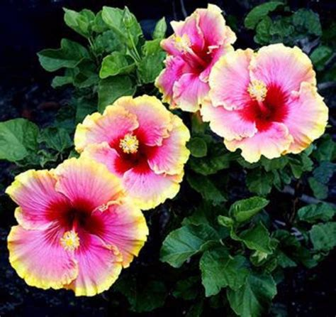 what color is hibiscus 9 mix colors dinnerplate hibiscus easy to grow huge10 12
