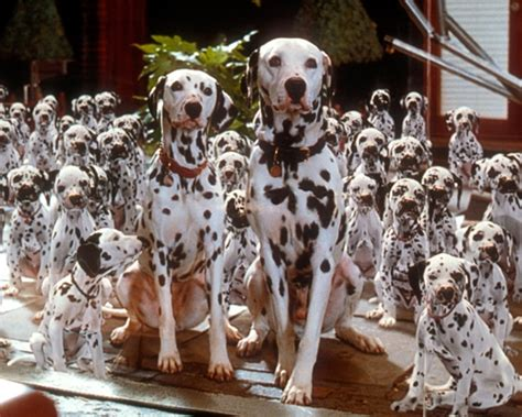the dalmatian family such beautiful sociable and family loving dogs ivestadog org