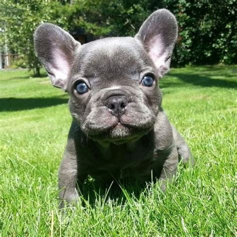 exotic exquisite rare blue chocolate lilac french bulldogs dogs puppies  rehoming