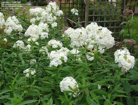 plantfiles pictures garden phlox david phlox paniculata by kachinagirl
