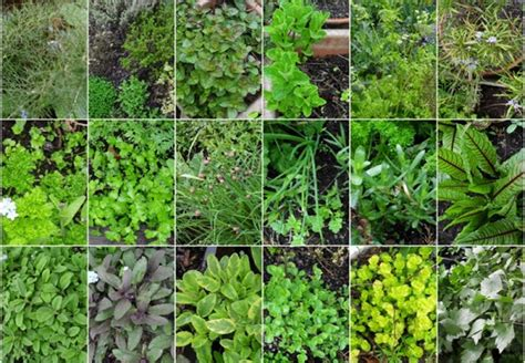 the types of comment herbs - Types Of Garden Herbs