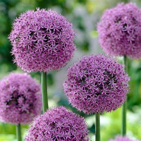 bloomsz allium globe master flower bulb 07480 the home depot