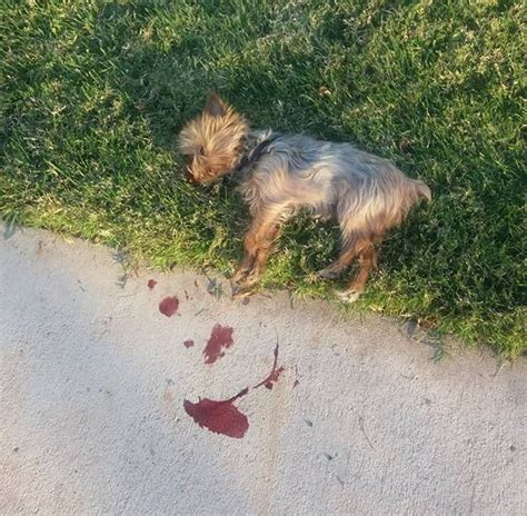 dead yorkie pleads guilty to killing st george family s 2 pound yorkie with pruning