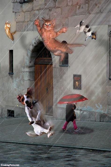 raining cats and dogs raining cats and dogs pictures freaking news