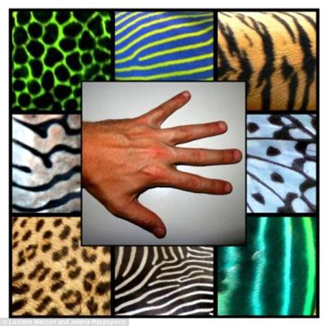 pattern formation in animals is based on alan turing s theory of how limbs and fingers form in the