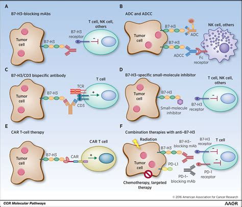 targeting pattern recognition receptors in cancer immunotherapy molecular pathways targeting b7 h3 cd276 for human