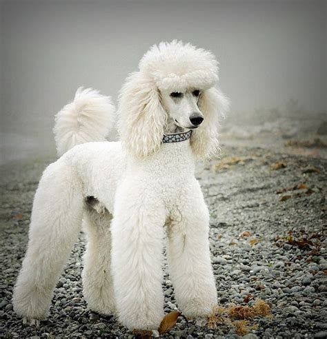 pictures of different poodle haircuts gunther what a gorgeous snowy white standard poodle dogs