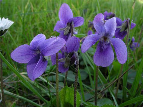 fiori spontanei viola viola odorata l schede delle erbe piante e fiori