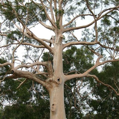 lemon eucalyptus tree mosquito repellent corymbia citriodora scented gum plant ebay