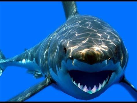 imagenes reales de un megalodon monstruo tiburon megalodon con comentarios de un megalodon