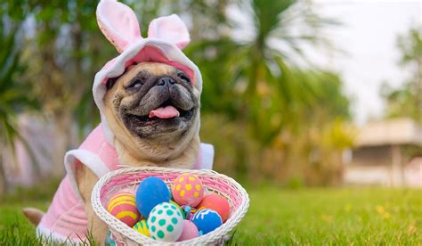 feeding dogs eggs don t feed your easter egg this weekend as it could kill them