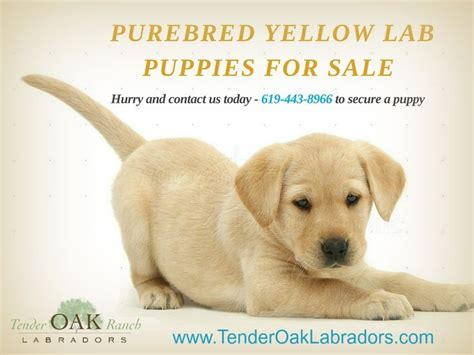 labrador puppies san diego 25 best ideas about yellow labs for sale on lab dogs for sale labrador