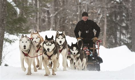 sled dogs sled tours by green mountain mushers at stratton mountain resort best ski resort