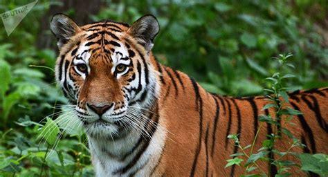 minicuentos de tigres y m 225 ximo depredador siete hechos de los tigres que seguramente no conoc 237 as sputnik mundo