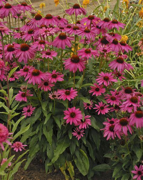 Echinacea Purple Coneflower T1310 4 butterfly purple emperor coneflower echinacea hybrid proven winners