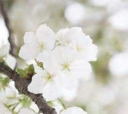 quelle est la signification des fleurs blanches