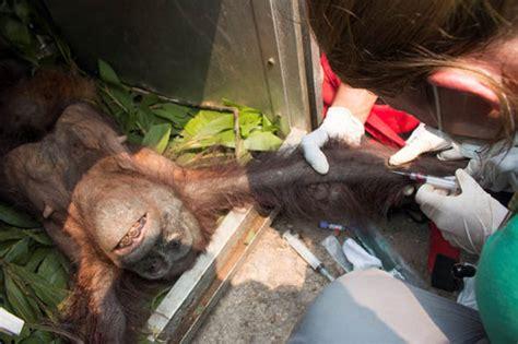 mother  baby orangutan saved   beaten