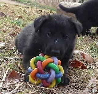 german shepherd puppies tacoma wa black german shepherd puppies 8 weeks for sale in tacoma washington classified