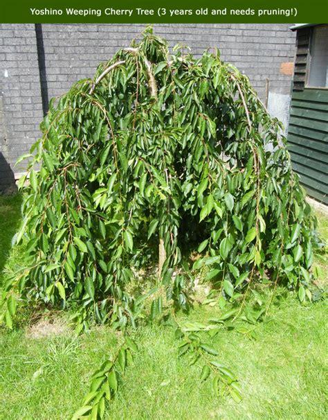 weeping trees buy yoshino weeping cherry tree prunus x yedoensis shidare yoshino from uk supplier