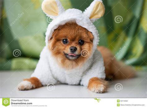 silly pomeranian pomeranian puppy dressed as stock photo image 50113550