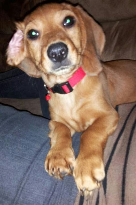 beagle weiner mix beagle dachshund mix animais
