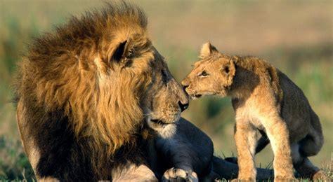 Spotlite Samsung Core2 spotlight shows various lions attacking humans