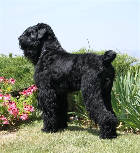 puppy in russian the in world black russian terrier dogs