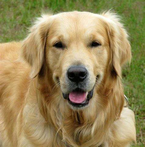 curly golden retriever curly coated retriever pictures posters news and on your pursuit hobbies