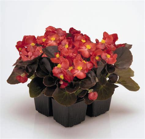 begonia fiore begonietta semprefiorita begonia semperflorens