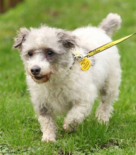 dogs trust sponsor a billy poodle cross dogs trust