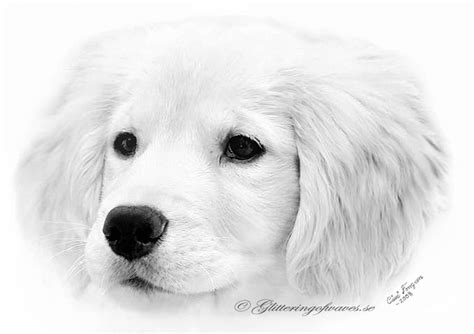 how to draw a realistic golden retriever puppy golden retriever puppy by waveglistening on deviantart